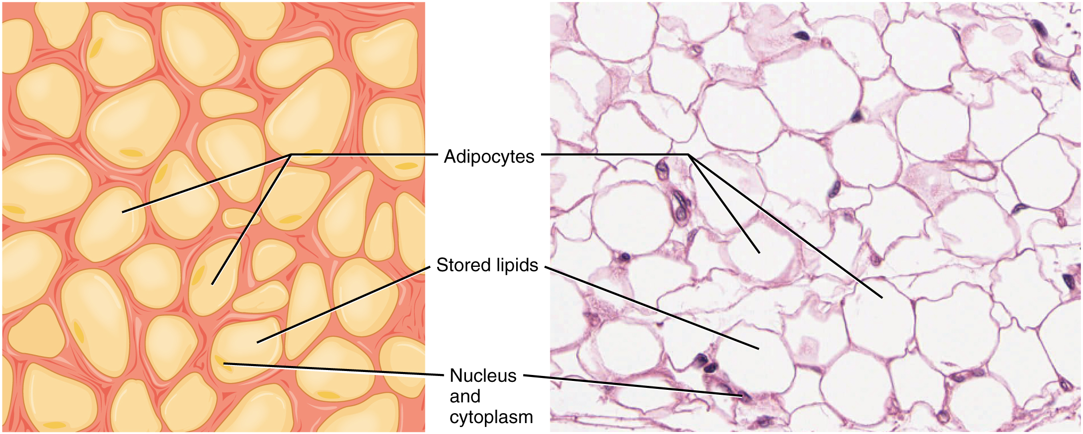 Image A shows a collection of yellow adipocytes that do not have a consistent shape or size, however, most have the general appearance of a kernel of corn with a wide end that tapers to a point. Each adipocyte has a nucleus occupying a small area on one side of the cell. Nothing else is visible within the cells. Image B shows a micrograph of adipose tissue. Here, the adipocytes are stained purple. However, only their edges and their nuclei stain, giving the adipose tissue a honeycomb appearance. The adipocytes in the micrograph are large and round, but still show a diversity of shapes and sizes. The nucleus appears as a dark staining area very close to the cell membrane.