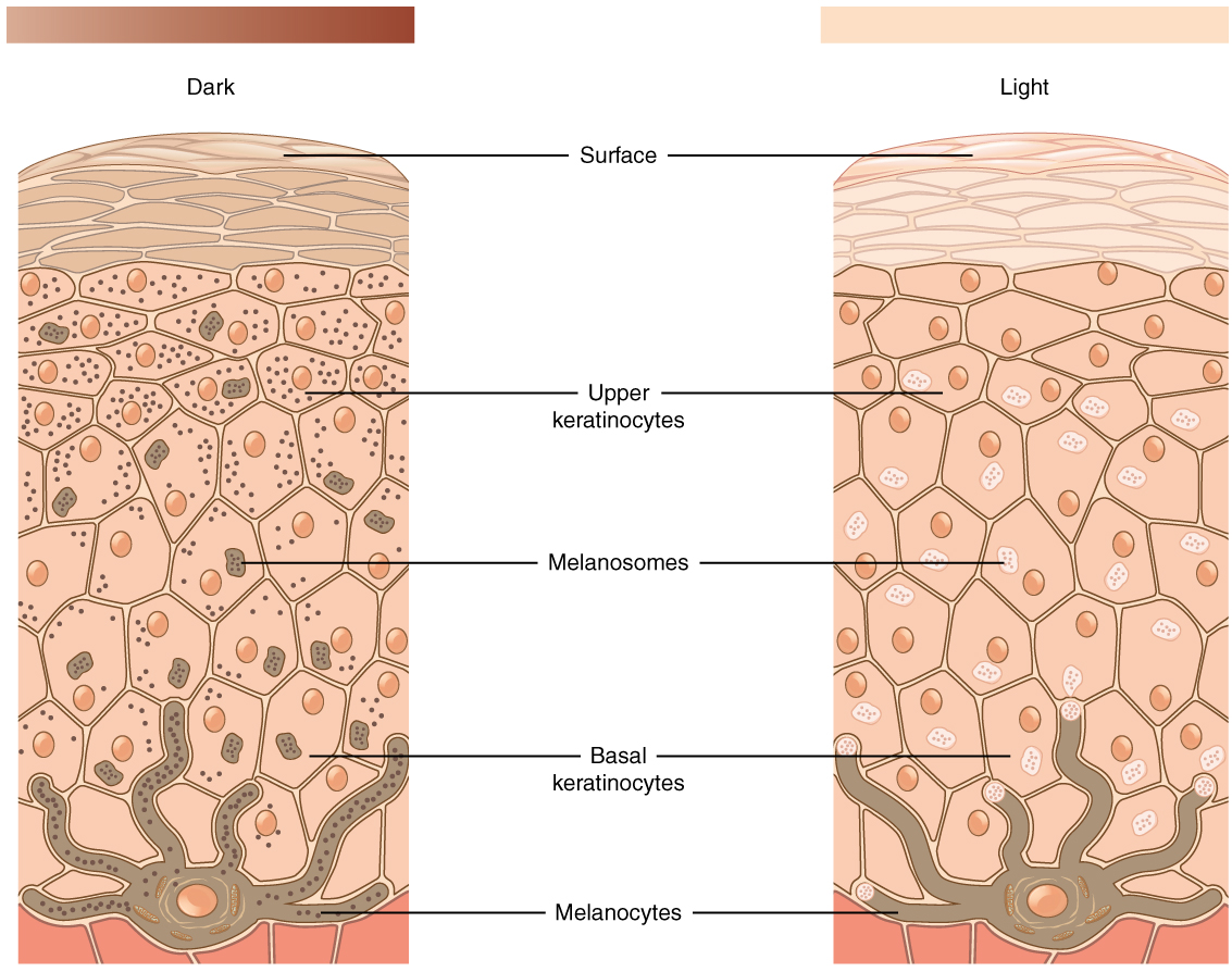 This figure consists of two diagrams side by side. The right diagram shows development of light colored skin; the left shows development of dark-colored skin. In both, a brown melanocyte sits at the border between the dermis and epidermis. The melanocyte has a large nucleus and six finger-like extensions. These reach between cells of the stratum basalis. Sections of the extensions detach and travel through the skins. These are melanosomes. In the left diagram, both the melanocyte and melanosomes contain melanin particles, shown as dark dots. Melanosomes travel upwards to outer skin layers, releasing melanin. As a result, keratinocytes in the left diagram contain several melanin particles that darken skin color. In light colored skin, the melanocyte contains no melanin. It still releases melanosomes into upper layers of the skin; however, these melanosomes contain no melanin. Therefore, the skin does not darken and remains light.