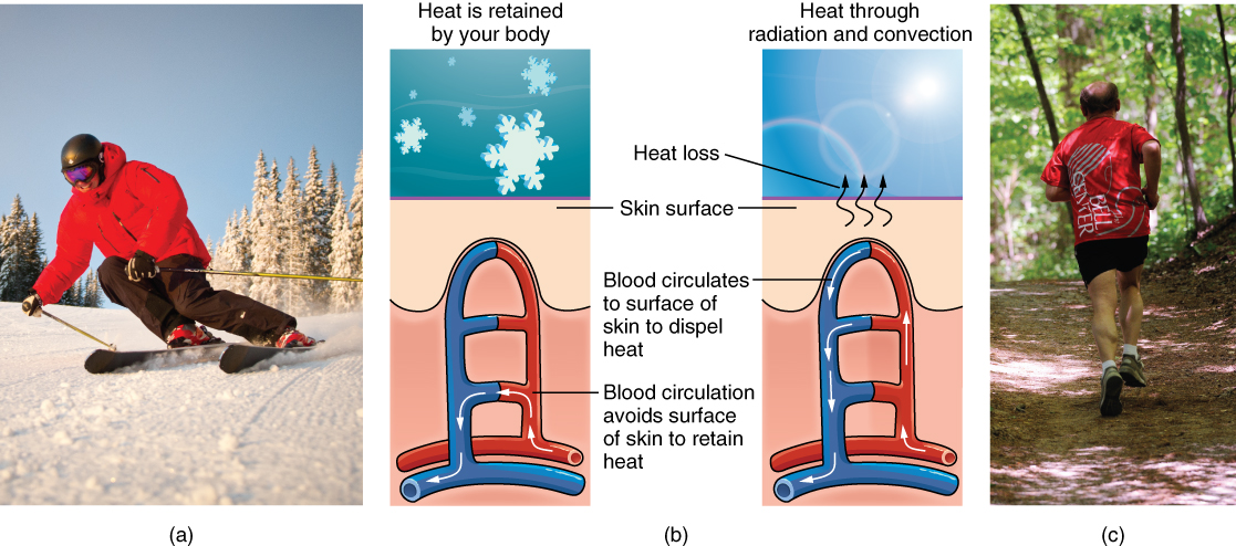 """Part A is a photo of a man skiing with several snow-covered trees in the background. Part B is a diagram with a right and left half. The left half is titled """" Heat is retained by the body,"""" while the right half is titled """"Heat loss through radiation and convection."""" Both show blood flowing from an artery through three capillary beds within the skin. The beds are arranged vertically, with the topmost bed located along the boundary of the dermis and epidermis. The bottommost bed is located deep in the hypodermis. The middle bed is evenly spaced between the topmost and bottommost beds. In each bed, oxygenated blood (red) enters the bed on the left and deoxygenated blood (blue) leaves the bed on the right. The left diagram shows a picture of snowflakes above the capillary beds, indicating that the weather is cold. Blood is only flowing through the deepest of the three capillary beds, as the upper beds are closed off to reduce heat loss from the outer layers of the skin. The right diagram shows a picture of the sun above the capillary beds, indicating that the weather is hot. Blood is flowing through all three capillary beds, allowing heat to radiate out of the blood, increasing heat loss. Part C is a photo of a man running through a forested trail on a summer day."""