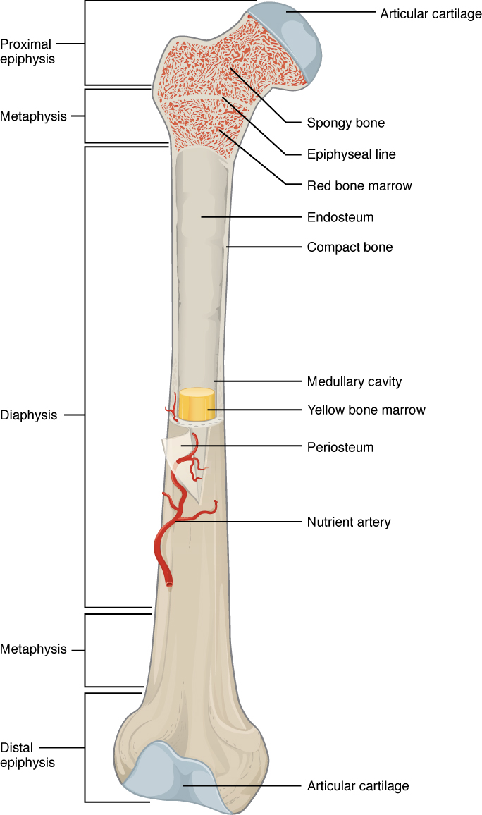 This illustration depicts an anterior view of the right femur, or thigh bone. The inferior end that connects to the knee is at the bottom of the diagram and the superior end that connects to the hip is at the top of the diagram. The bottom end of the bone contains a smaller lateral bulge and a larger medial bulge. A blue articular cartilage covers the inner half of each bulge as well as the small trench that runs between the bulges. This area of the inferior end of the bone is labeled the distal epiphysis. Above the distal epiphysis is the metaphysis, where the bone tapers from the wide epiphysis into the relatively thin shaft. The entire length of the shaft is the diaphysis. The superior half of the femur is cut away to show its internal contents. The bone is covered with an outer translucent sheet called the periosteum. At the midpoint of the diaphysis, a nutrient artery travels through the periosteum and into the inner layers of the bone. The periosteum surrounds a white cylinder of solid bone labeled compact bone. The cavity at the center of the compact bone is called the medullary cavity. The inner layer of the compact bone that lines the medullary cavity is called the endosteum. Within the diaphysis, the medullary cavity contains a cylinder of yellow bone marrow that is penetrated by the nutrient artery. The superior end of the femur is also connected to the diaphysis by a metaphysis. In this upper metaphysis, the bone gradually widens between the diaphysis and the proximal epiphysis. The proximal epiphysis of the femur is roughly hexagonal in shape. However, the upper right side of the hexagon has a large, protruding knob. The femur connects and rotates within the hip socket at this knob. The knob is covered with a blue colored articular cartilage. The internal anatomy of the upper metaphysis and proximal epiphysis are revealed. The medullary cavity in these regions is filled with the mesh like spongy bone. Red bone marrow occupies the many cavities within th