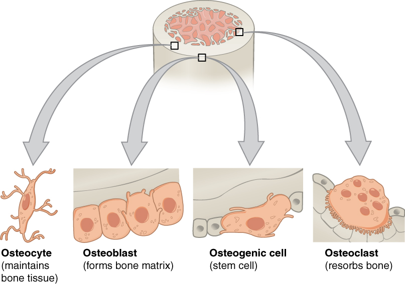 """The top of this diagram shows the cross section of a generic bone with three zoom in boxes. The first box is on the periosteum. The second box is on the middle of the compact bone layer. The third box is on the inner edge of the compact bone where it transitions into the spongy bone. The callout in the periosteum points to two images. In the first image, four osteoblast cells are sitting end to end on the periosteum. The osteoblasts are roughly square shaped, except for one of the cells which is developing small, finger like projections. The caption says, """"Osteoblasts form the matrix of the bone."""" The second image called out from the periosteum shows a large, amorphous osteogenic cell sitting on the periosteum. The osteogenic cell is surrounded on both sides by a row of much smaller osteoblasts. The cell is shaped like a mushroom cap and also has finger like projections. The cell is a stem cell that develops into other bone cells. The box in the middle of the compact bone layer is pointing to an osteocyte. The osteocyte is a thin cell, roughly diamond shaped, with many branching, finger-like projections. The osteoctyes maintain bone tissue. The box at the inner edge of the compact bone is pointing to an osteoclast. The osteoclast is a large, round cell with multiple nuclei. It also has rows of fine finger like projections on its lower surface where it is sitting on the compact bone. The osteoclast reabsorbs bone."""