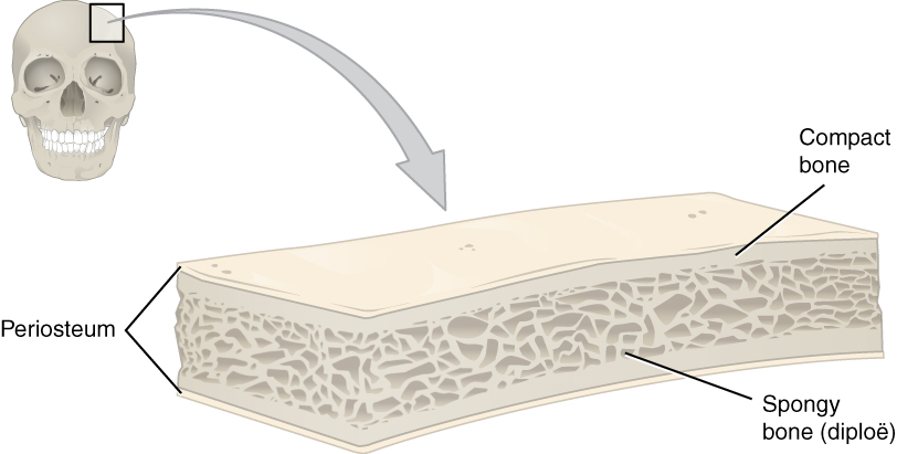 This illustration shows a cross section of a cranial bone, constructed somewhat like a sandwich. The topmost and bottommost layers are the thin, translucent, periosteum. The upper and lower periosteum cover an upper and lower layer of compact bone, respectively. The compact bone is solid, with each layer occupying about one tenth of the thickness of the cranial bone. The majority of the cross section is occupied by the spongy bone, or diploe, sandwiched between the upper and lower compact bone. The spongy bone contains many crisscrossing threads of bone. Dark air spaces occur between the threads, giving the bone a porous appearance, much like that of a sponge or Swiss cheese.