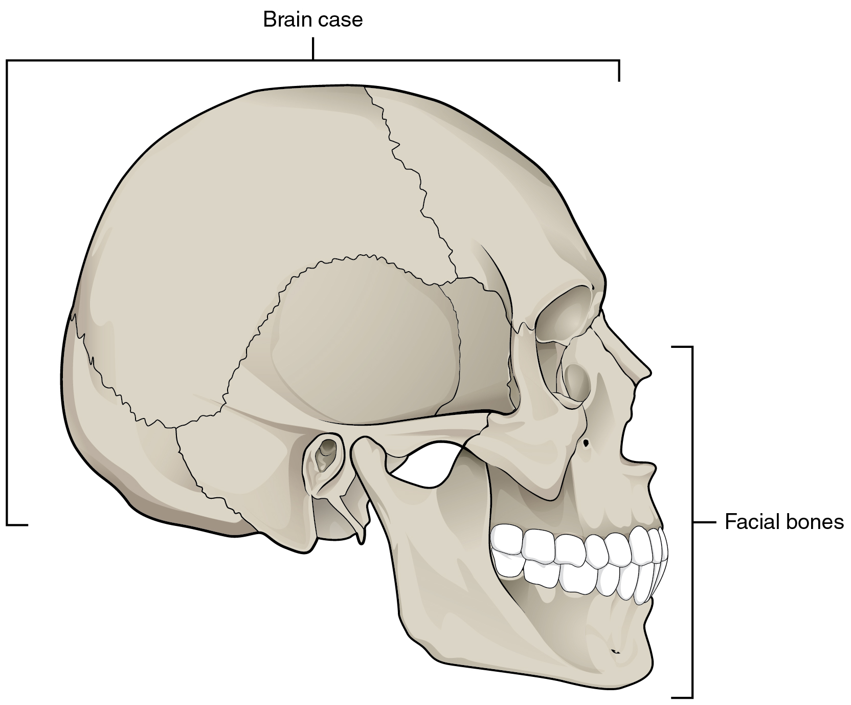 In this image, the lateral view of the human skull is shown and the brain case and facial bones are labeled.