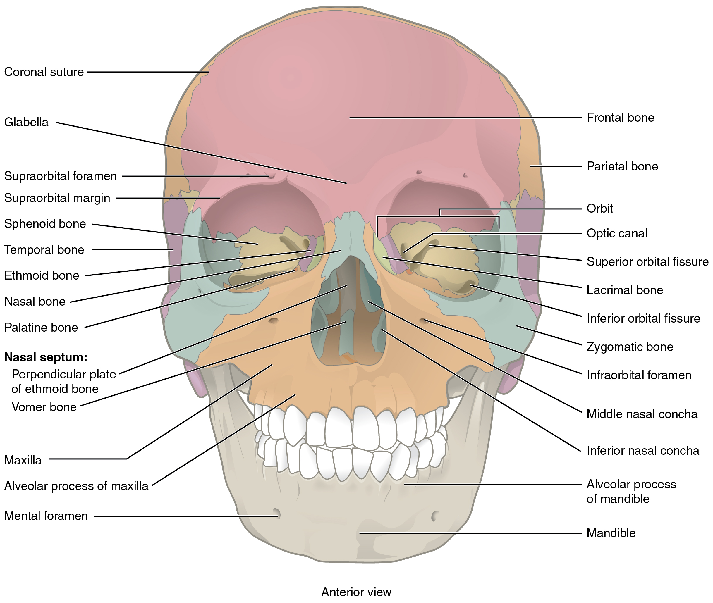 This image shows the anterior view (from the front) of the human skull. The major bones on the skull are labeled.
