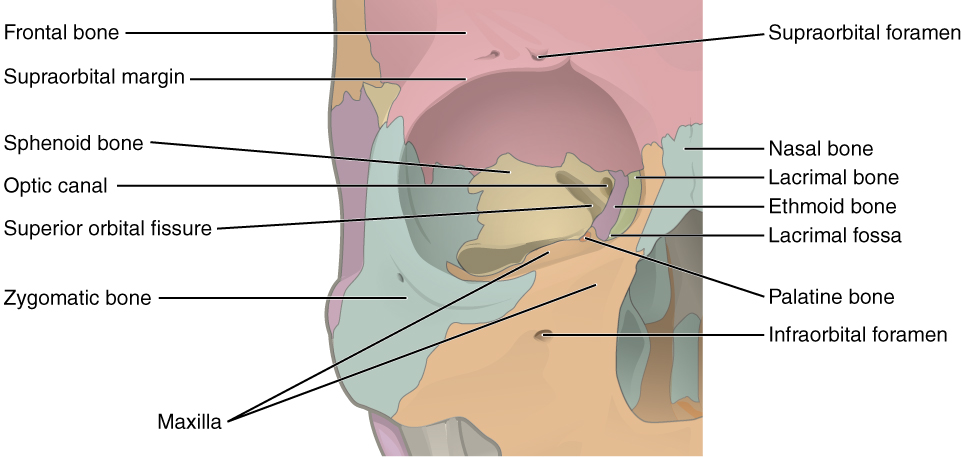 In this image, the different bones forming the orbit for the eyes are shown and labeled.