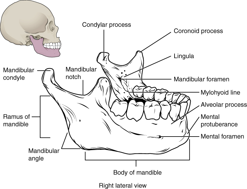 This image shows the structure of the mandible. On the top left, a lateral view of the skull shows the location of the mandible in purple. A magnified image shows the right lateral view of the mandible with the major parts labeled.