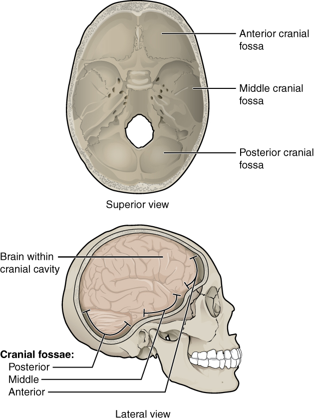 This figure shows the structure of the cranial fossae. The top panel shows the superior view and the bottom panel shows the lateral view. In both panels, the major parts are labeled.