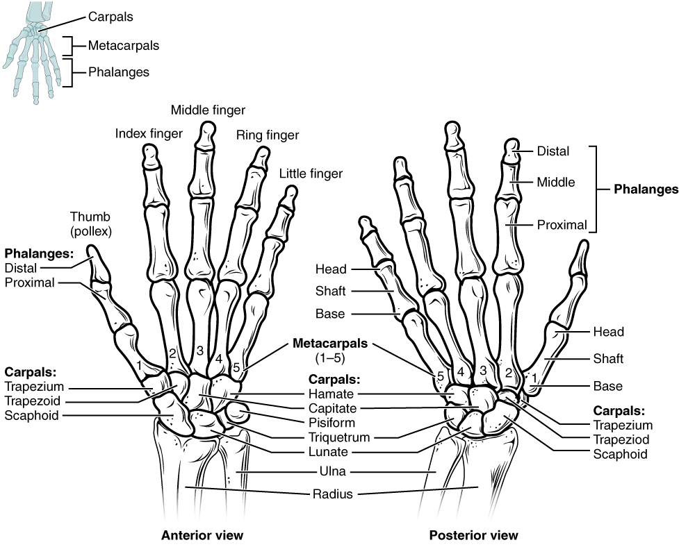 This figure shows the bones in the hand and wrist joints. The left panel shows the anterior view, and the right panel shows the posterior view.