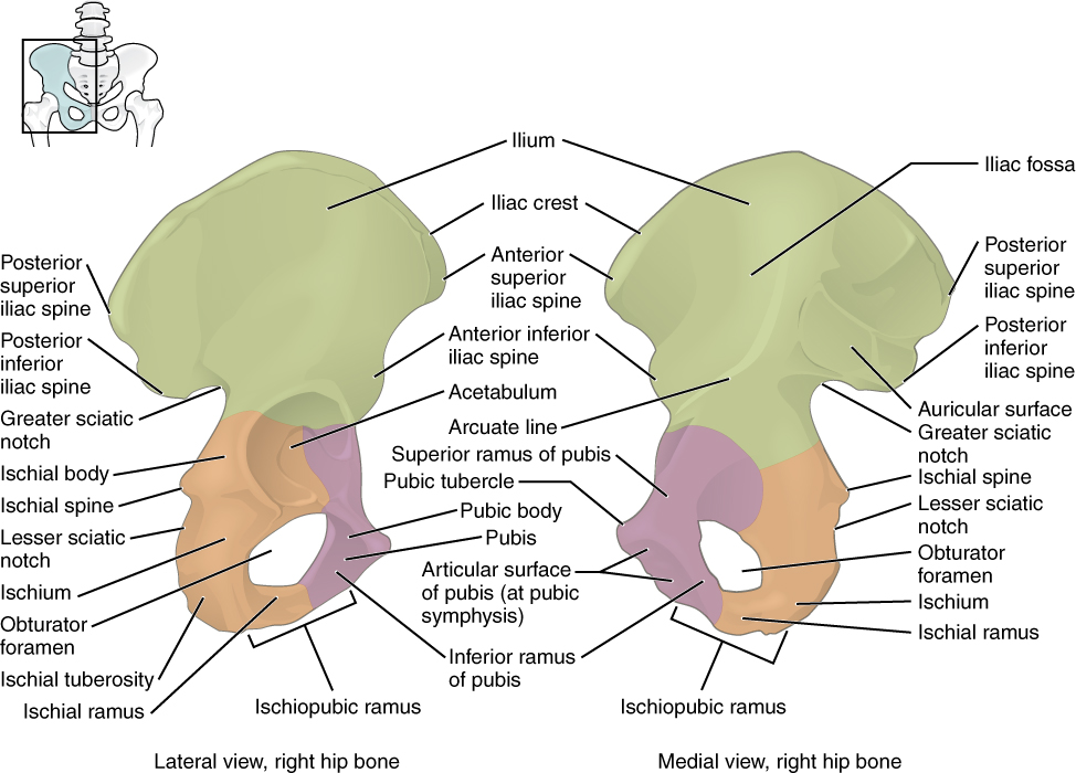 This figure shows the right hip bone. The left panel shows the lateral view, and the right panel shows the medial view.