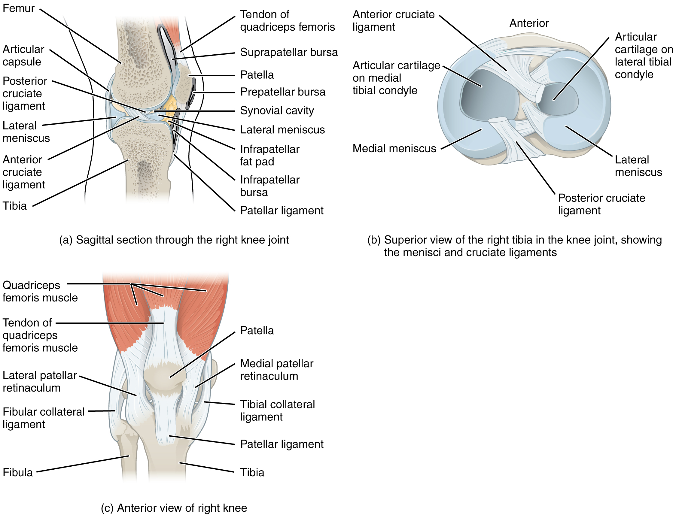 This image shows the different views of the knee joint. The top, left panel shows the sagittal view of the right knee joint. The top, left panel shows the superior view of the right tibia, identifying the ligaments. The bottom, right panel shows the anterior view of the right knee.