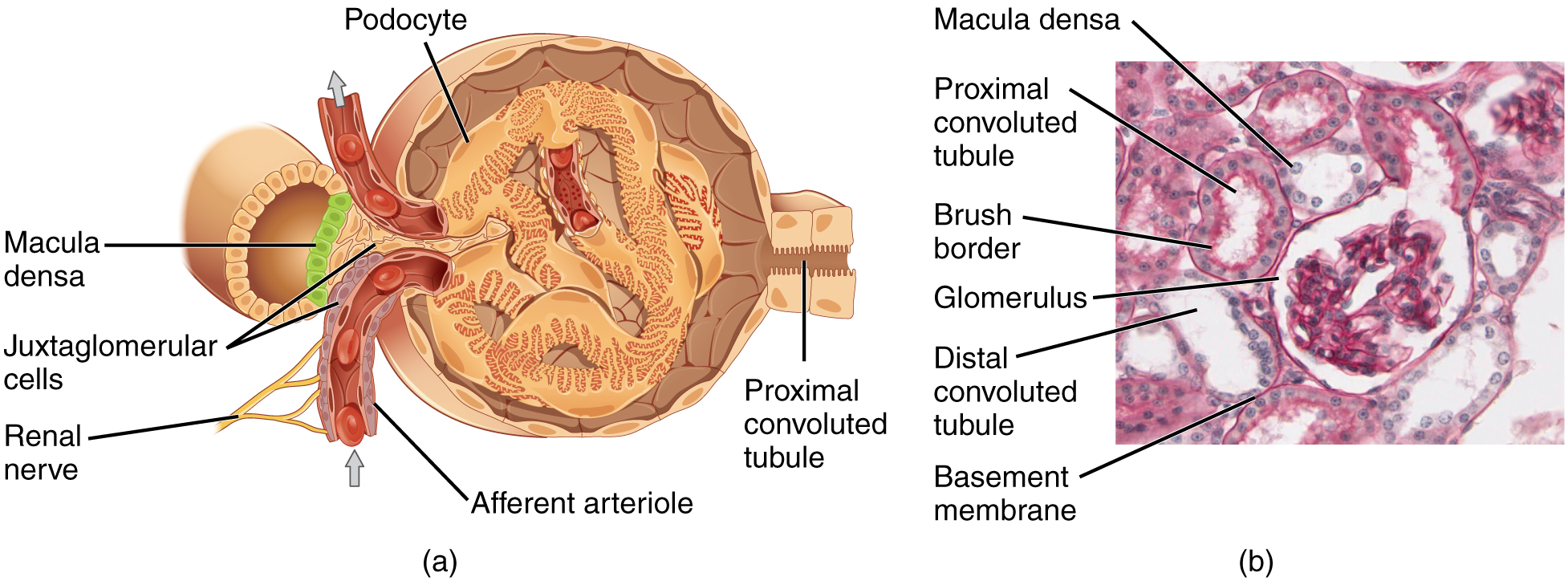 The top panel of this image shows the cross section of the juxtaglomerular apparatus. The major parts are labeled.