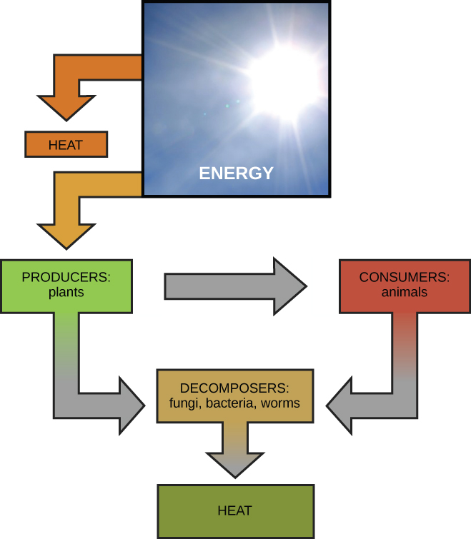 this diagram shows energy from the sun being transferred to producers, such  as plants