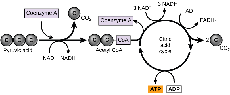 43 Citric Acid Cycle And Oxidative Phosphorylation Concepts Of
