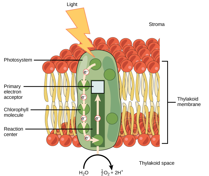 5 2 The Light Dependent Reactions Of Photosynthesis