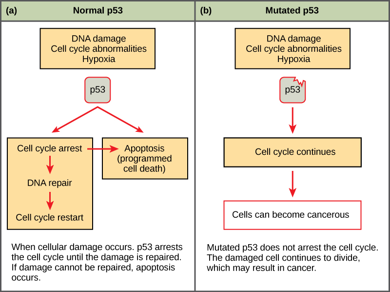 6 3 Cancer And The Cell Cycle Concepts Of Biology 1st