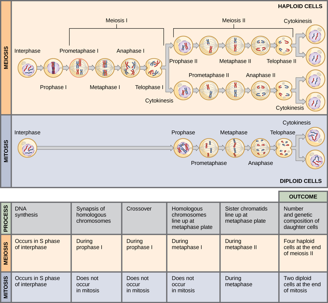 72 meiosis concepts of biology 1st canadian edition this illustration compares meiosis and mitosis in meiosis there are two rounds of cell ccuart Choice Image