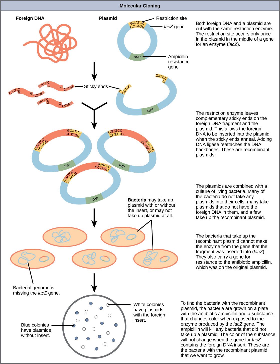 An illustration showing the steps in creating recombinant DNA plasmids,  inserting them into bacteria,
