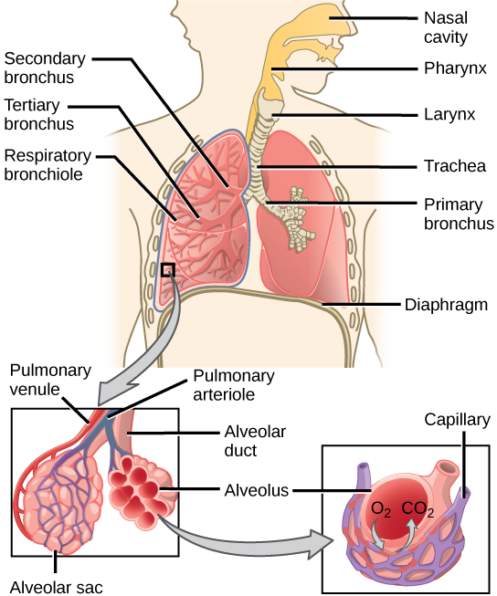 113 circulatory and respiratory systems concepts of biology 1st the illustration shows the flow of air through the human respiratory system the nasal cavity ccuart