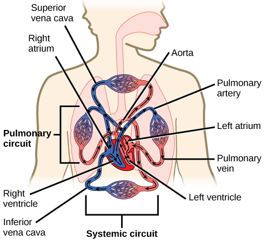 113 circulatory and respiratory systems concepts of biology 1st illustration shows blood circulation through the mammalian systemic and pulmonary circuits blood enters the left ccuart Choice Image