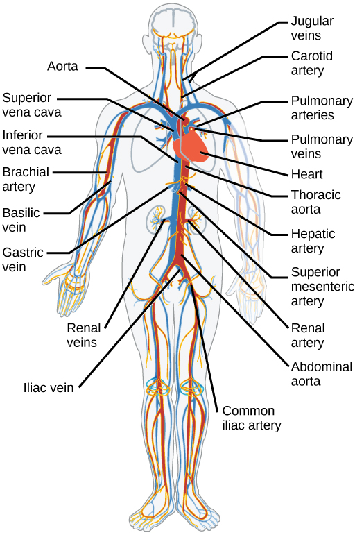 Pulmonary And Systemic Circulation Concept Map.11 3 Circulatory And Respiratory Systems Concepts Of Biology 1st