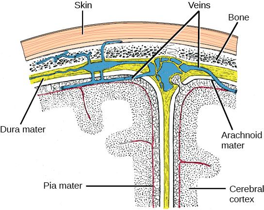 11.6 Nervous System - Concepts of Biology - 1st Canadian ...