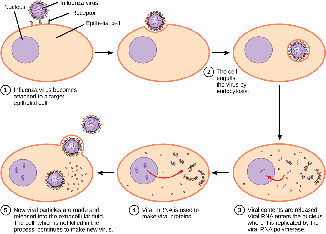 An influenza virus attaches to a host cell. As a result, the virus is engulfed by the host cell. The infected host cell replicates the virus' RNA and proteins and assembles these into new virions (complete infective viruses).