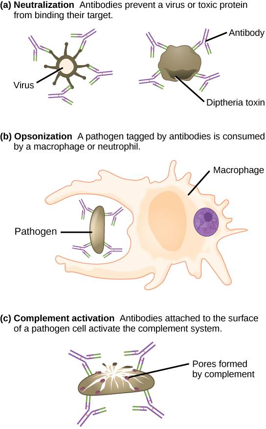 123 Adaptive Immunity     Concepts of Biology1st Canadian