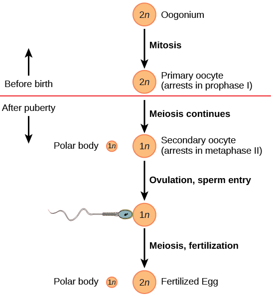 sperm egg fertilizing cycle