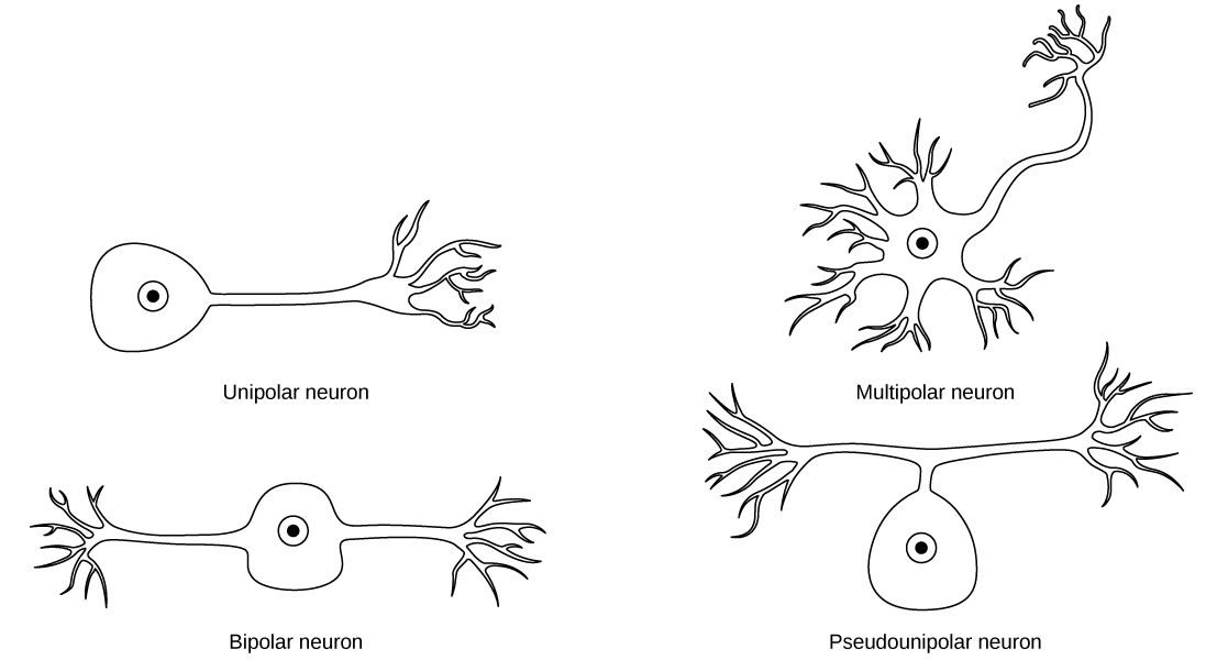 16 1 neurons and glial cells  u2013 concepts of biology