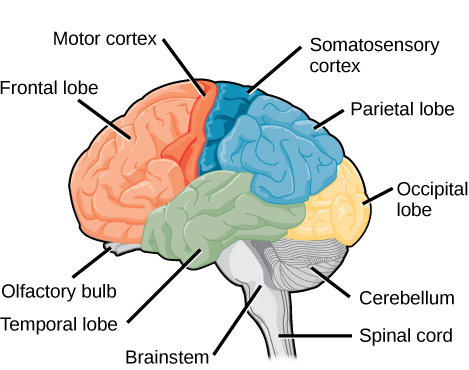 163 the central nervous system concepts of biology 1st canadian the human cerebral cortex includes the frontal parietal temporal and occipital lobes ccuart Gallery