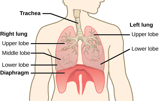 113 circulatory and respiratory systems concepts of biology 1st the trachea bifurcates into the right and left bronchi in the lungs the right lung is made of three lobes and is larger to accommodate the heart ccuart Images