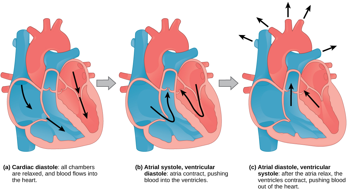 213 mammalian heart and blood vessels concepts of biology 1st during a cardiac diastole the heart muscle is relaxed and blood flows into the heart during b atrial systole the atria contract pushing blood into ccuart Image collections