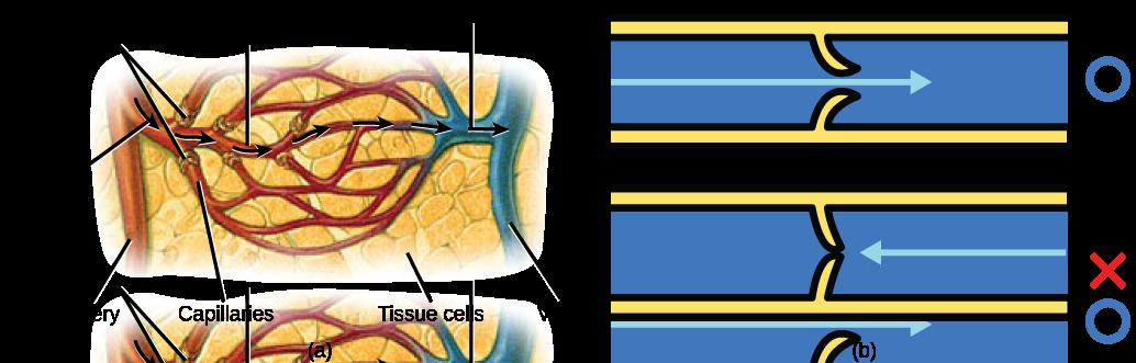 21.4. Blood Flow and Blood Pressure Regulation – Concepts of Biology ...