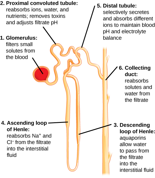 each part of the nephron performs a different function in filtering waste  and maintaining homeostatic balance  (1) the glomerulus forces small  solutes out