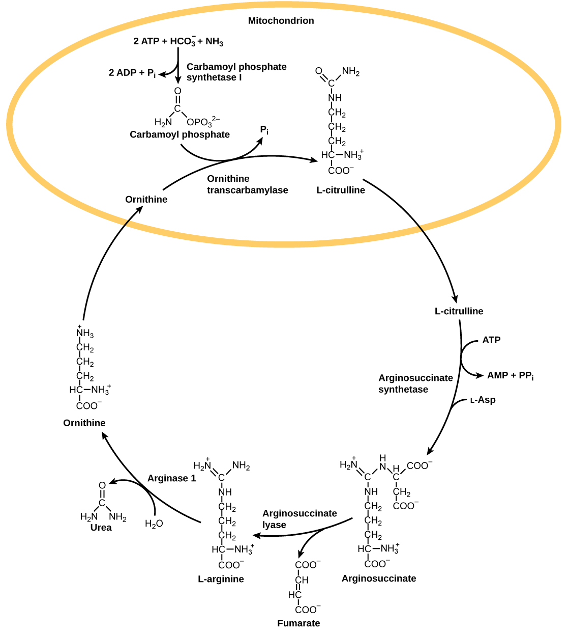 22 4  Nitrogenous Wastes – Concepts of Biology – 1st