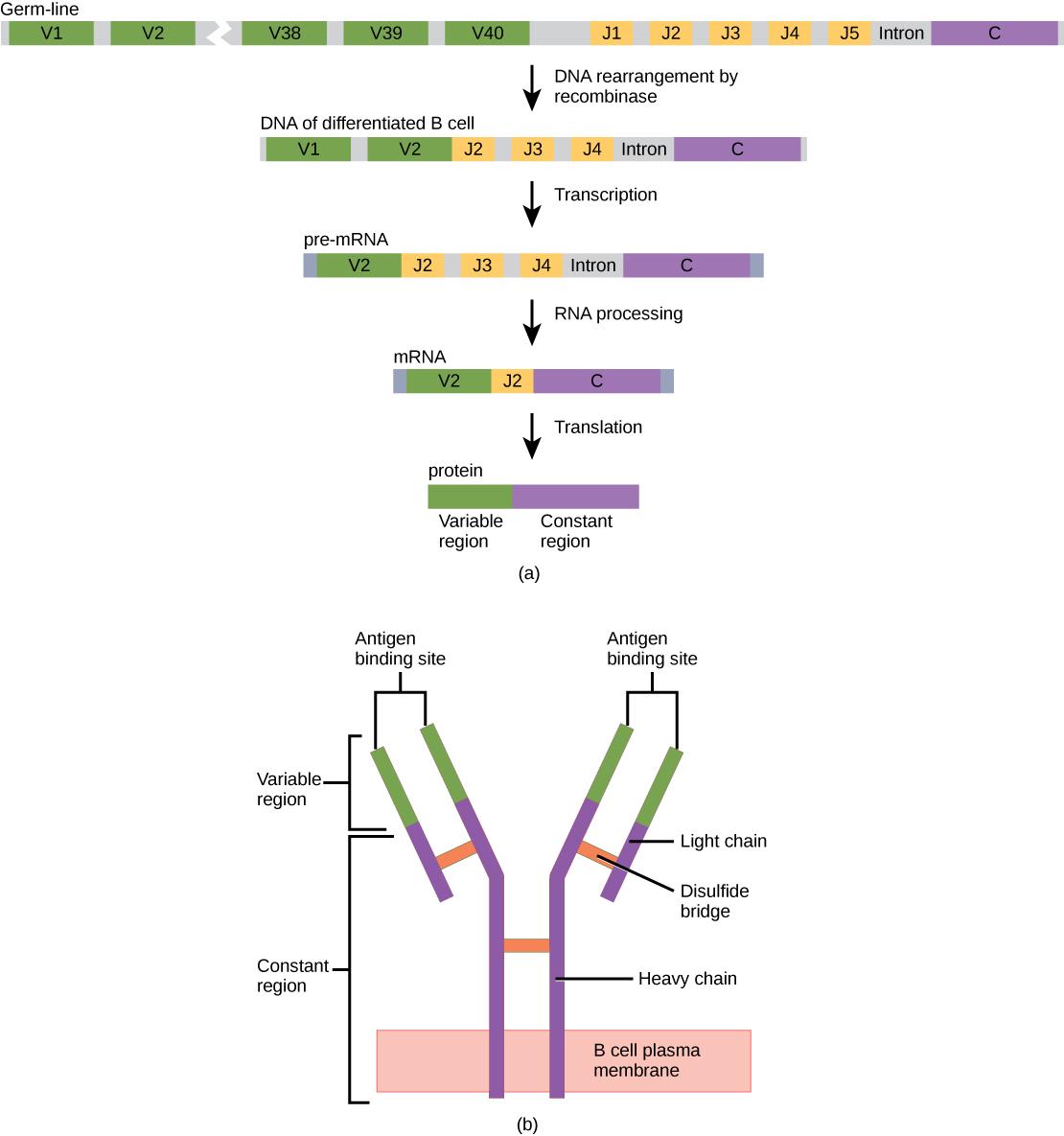 https://opentextbc.ca/biology/wp-content/uploads/sites/96/2015/03/Figure_42_03_01.jpg