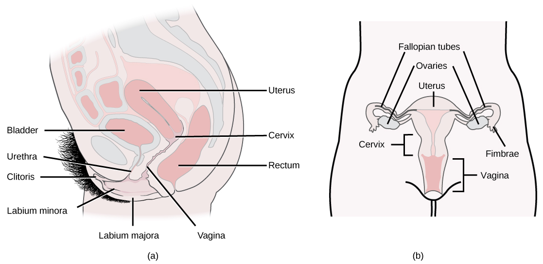 24.3. Human Reproductive Anatomy and Gametogenesis – Concepts of ...