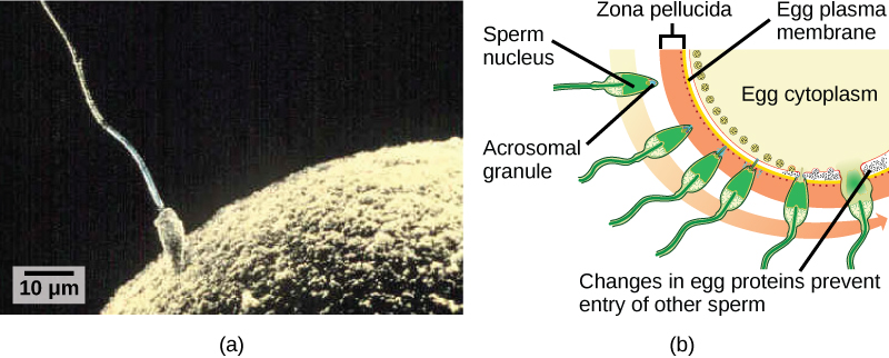 24 6  Fertilization and Early Embryonic Development