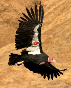This photo shows a California condor in flight with a tag on its wing.