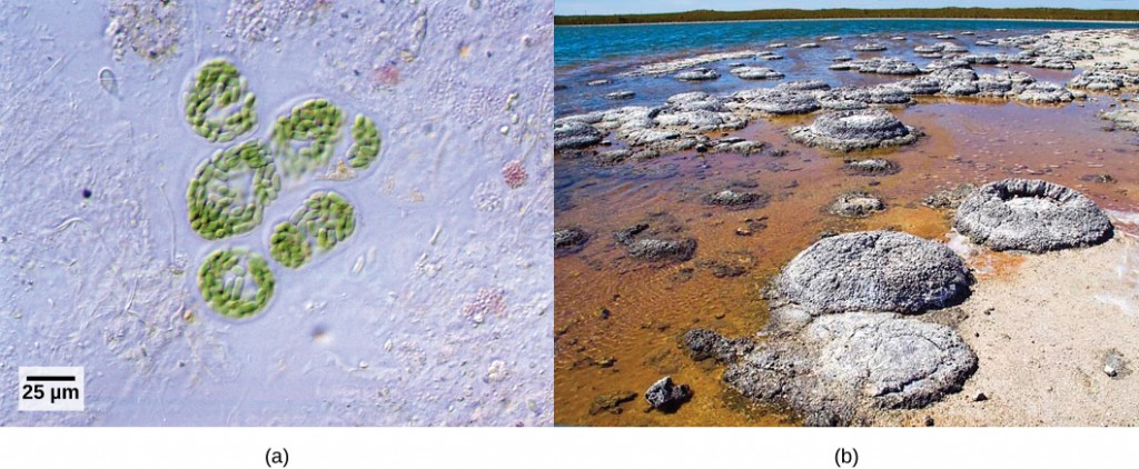 Photo A depicts round colonies of blue-green algae. Photo B depicts round fossil structures called stromatalites along a watery shoreline.