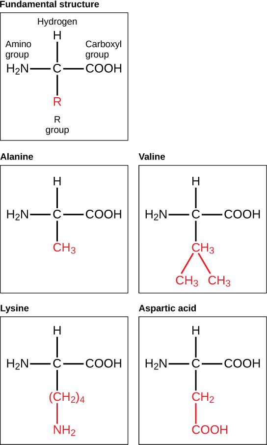 The fundamental molecular structure of an amino acid is shown. Also shown are the molecular structures of alanine, valine, lysine, and aspartic acid, which vary only in the structure of the R group