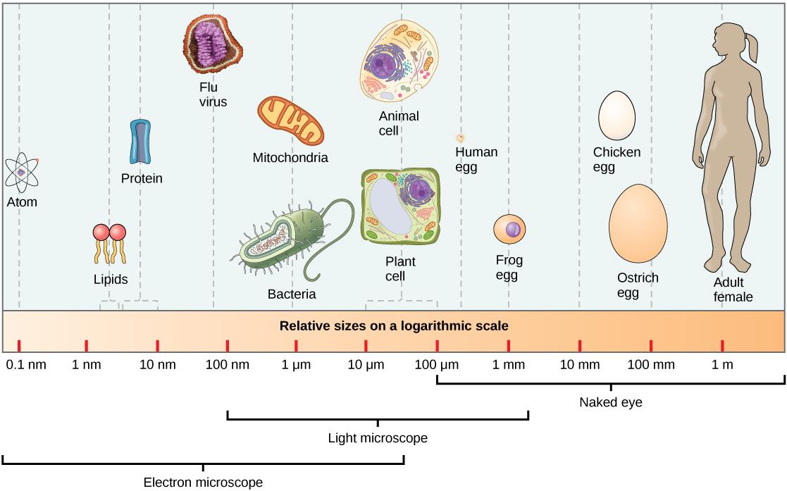 3 2 comparing prokaryotic and eukaryotic cells  u2013 concepts of biology