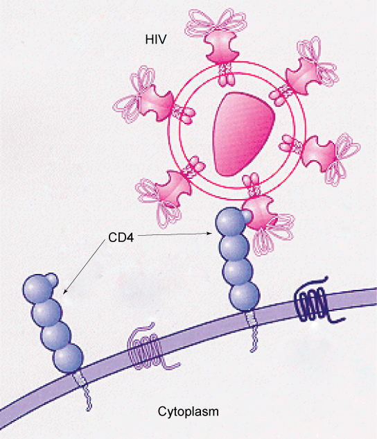 This illustration shows the plasma membrane of a T cell. CD4 receptors extend from the membrane into the extracellular space. The HIV virus recognizes part of the CD4 receptor and attaches to it.