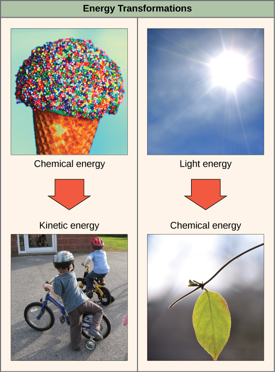 The left side of this diagram depicts energy being transferred from an ice cream cone to two boys riding bikes. The right side depicts a plant converting light energy into chemical energy: Light energy is represented by the sun, and the chemical energy is represented by a green leaf on a branch.