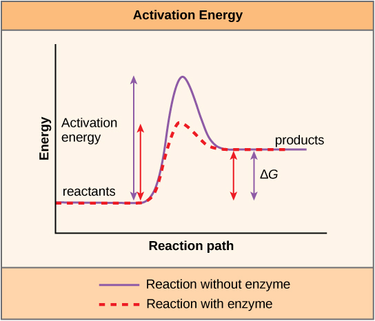 This plot shows that a catalyst decreases the activation energy for a reaction but does not change the Gibbs free energy.
