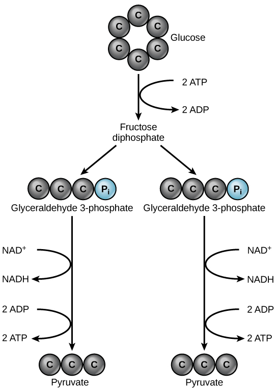 4 2 glycolysis