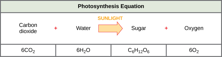 The photosynthesis equation is shown. According to this equation, six carbon dioxide molecules and six water molecules produce one sugar molecule and one oxygen molecule. The sugar molecule is made of 6 carbons, 12 hydrogens, and 6 oxygens. Sunlight is used as an energy source.