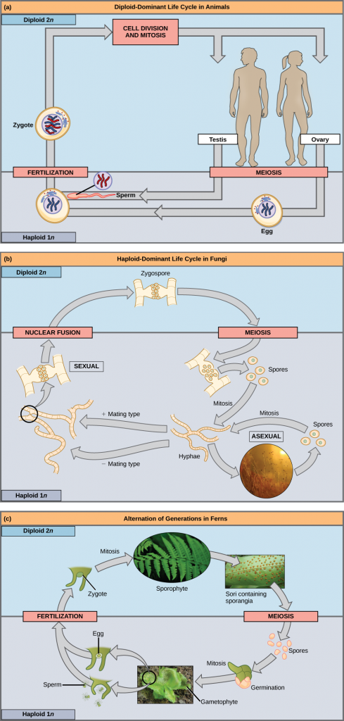 Part a shows the life cycle of animals. Through meiosis, adult males produce haploid (1n) sperm, and adult females produce haploid eggs. Upon fertilization, a diploid (2n) zygote forms, which grows into an adult through mitosis and cell division. Part b shows the life cycle of fungi. In fungi, the diploid (2n) zygospore undergoes meiosis to form haploid (1n) spores. Mitosis of the spores occurs to form hyphae. Hyphae can undergo asexual reproduction to form more spores, or they form plus and minus mating types that undergo nuclear fusion to form a zygospore. Part c shows the life cycle of fern plants. The diploid (2n) zygote undergoes mitosis to produce the sphorophyte, which is the familiar, leafy plant. Sporangia form on the underside of the leaves of the sphorophyte. Sporangia undergo meiosis to form haploid (1n) spores. The spores germinate and undergo mitosis to form a multicellular, leafy gametophyte. The gametophyte produces eggs and sperm. Upon fertilization, the egg and sperm form a diploid zygote.
