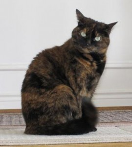 Photo of a tortoiseshell cat.
