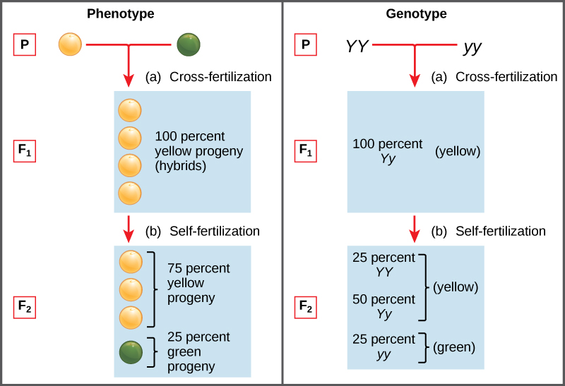 By the end of this section, you will be able to: Explain the relationship between genotypes and phenotypes in dominant and recessive gene systems Use a Punnett square to calculate the expected proportions of genotypes and phenotypes in a monohybrid cross Explain Mendel's law of segregation and independent assortment in terms of genetics and the events of meiosis Explain the purpose and methods of a test cross